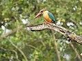 Stork billed kingfisher-kannur-kattampally - 4.jpg
