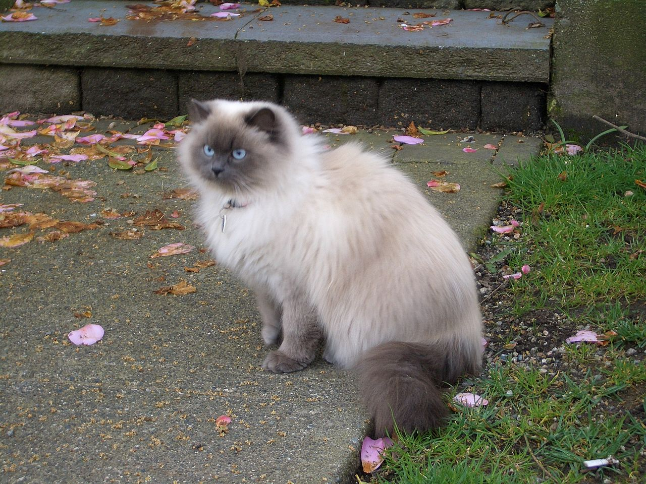 free siamese kittens vancouver