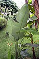 Strelitzia nicolai 18zz.jpg