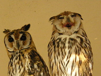 Two striped owls (Pseudoscops clamator). Seems...