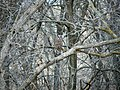 Strix varia Barred Owl 3.8.2008.jpg