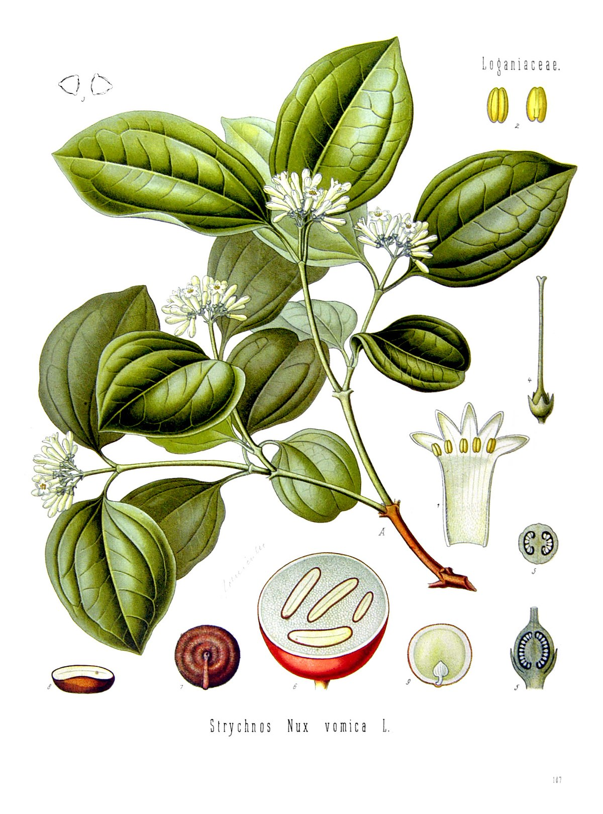 Arbusto esperma