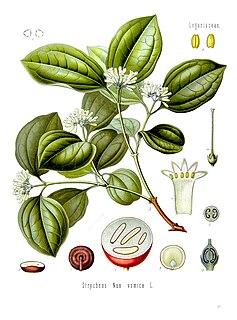 <i>Strychnos nux-vomica</i> Species of plant