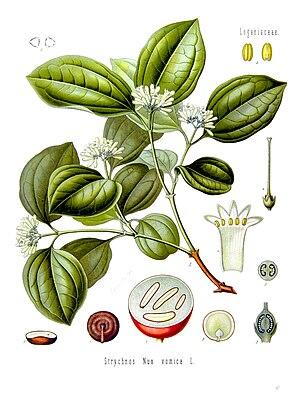 Strychnos nux-vomica - Illustration from Köhler's Medizinal-Pflanzen