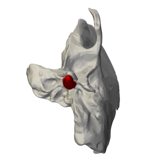 Temporal styloid process - Image: Styloid process of left temporal bone inferior view