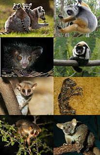 Strepsirrhini A suborder of primates which includes lemurs, galagos, pottos and lorises