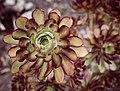 Succulents, Lands End Trail, San Francisco (35503736461).jpg