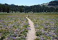 Summit Meadow lupine path Emigrant Wilderness.jpg