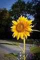 Sunflower - Toulouse - 2012-09-06.jpg
