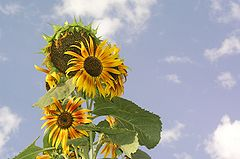Sunflower l.jpg