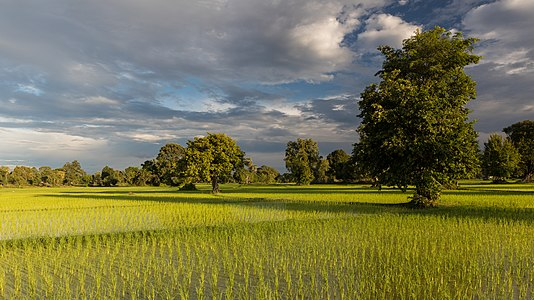 Sunny green paddy fields with trees and long shadows at golden hour