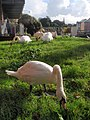 Swans by Cricklepit footbridge - geograph.org.uk - 1554238.jpg