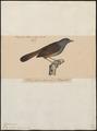 Sylvia abyssinica - 1835 - Print - Iconographia Zoologica - Special Collections University of Amsterdam - UBA01 IZ16200173.tif