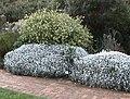 Syncarpha argyropsis - Algoa Strandveld SA.jpg