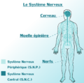 Systeme Nerveux Central & Peripherique du corps Humain..png