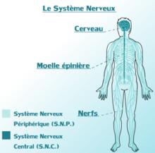 8.2 - Le système nerveux périphérique