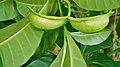 Tabernaemontana citrifolia (Fruit).jpg