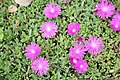 "Table Mountain Iceplant (Delosperma) ""John Profitt"" - United States National Arboretum.jpg"