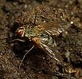 Tachinidae Mukteshwar 4.jpg