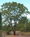 Tamarindus indica tree.JPG