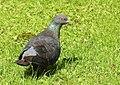 Tamduva Domestic Pigeon (20325247286).jpg