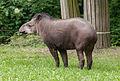 Tapirus-terrestris.jpg
