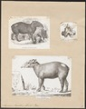 Tapirus roulinii - 1700-1880 - Print - Iconographia Zoologica - Special Collections University of Amsterdam - UBA01 IZ22000279.tif