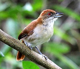 Taraba major - Great Anshrike (female).JPG