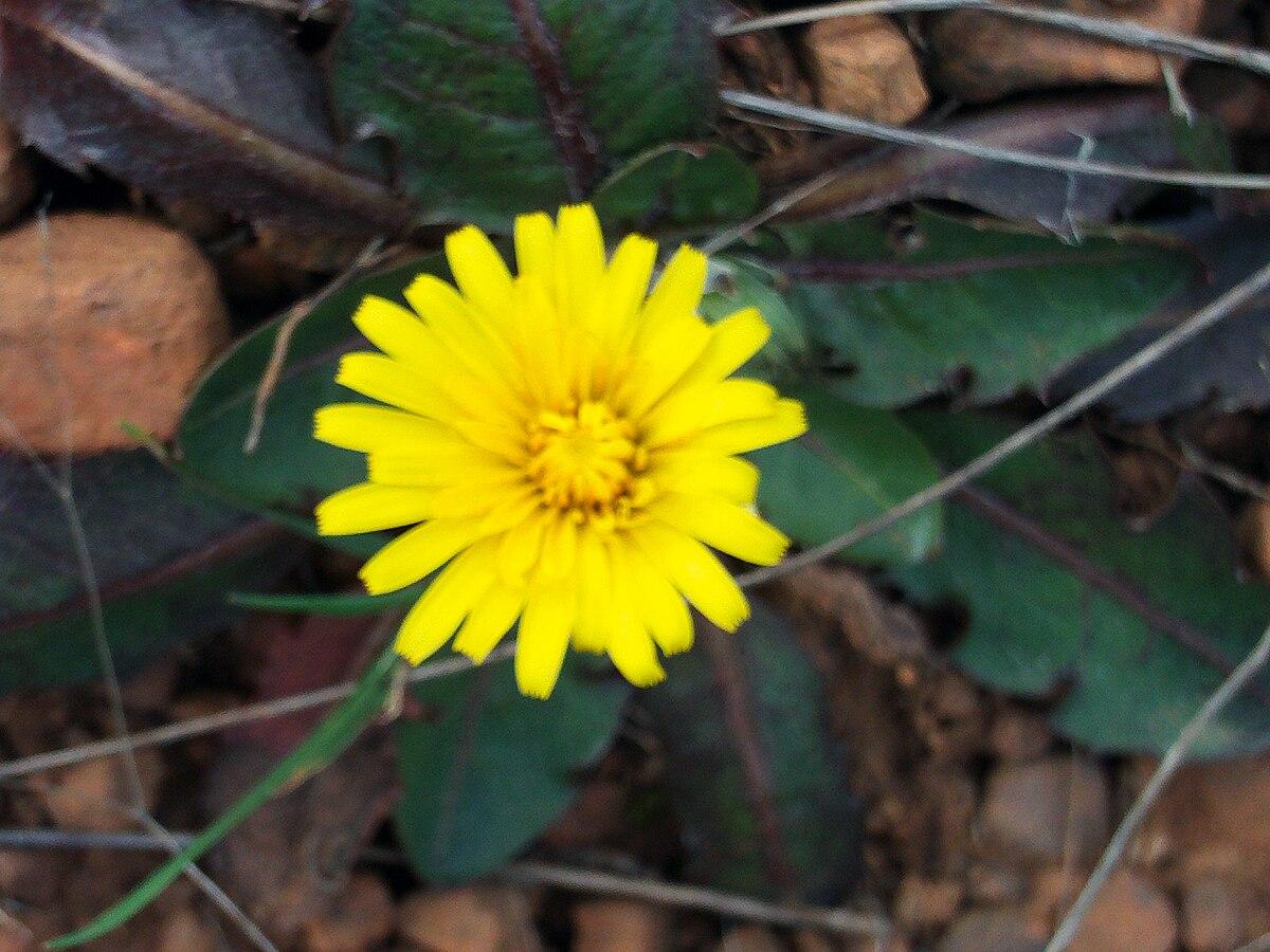 Taraxacum Laevigatum Wikipedia