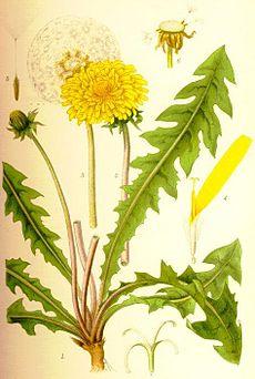 Maskros på äldre botanisk plansch