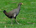 Tasmanian-Native-hen.jpg