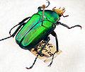 Taurhina-Longiceps 2 2007-04.jpg
