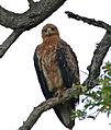 Tawny Eagle (Aquila rapax) (17256874720).jpg