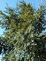 Taxus bacata.jpg
