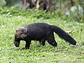 Tayra - Male showing claws,.jpg