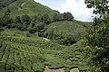 Tea plantations, Malaysia.jpg