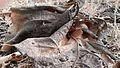 Teak tree's leaf.jpg