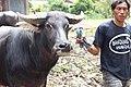 Tedong Saleko Khas Tradisi Toraja.jpg
