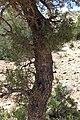 Tetraclinis articulata kz19 Morocco.jpg