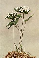 Thalictrum thalictroides WFNY-068B.jpg
