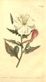 The Botanical Magazine, Plate 468 (Volume 13, 1799).png