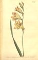 The Botanical Magazine, Plate 487 (Volume 14, 1800).png