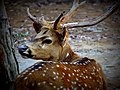 The CHITAL is the sole member of the genus AXIS.jpg
