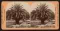 The Date Palm, Pasadena, Cal., U.S.A, by Singley, B. L. (Benjamin Lloyd) 2.png