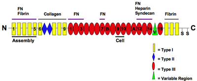 https://upload.wikimedia.org/wikipedia/commons/thumb/6/66/The_Modular_Structure_of_Fibronectin_and_its_Binding_Domains.png/400px-The_Modular_Structure_of_Fibronectin_and_its_Binding_Domains.png