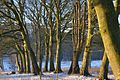 The old avenue og beech and Lime trees.jpg