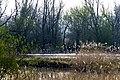 The swamps are starting to bud near the Ottersluis (sluce), Biesbosch, Dordrecht (13545083674).jpg