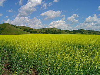 Canadian Prairies - A canola field in the Qu'Appelle Valley in Southern Saskatchewan.