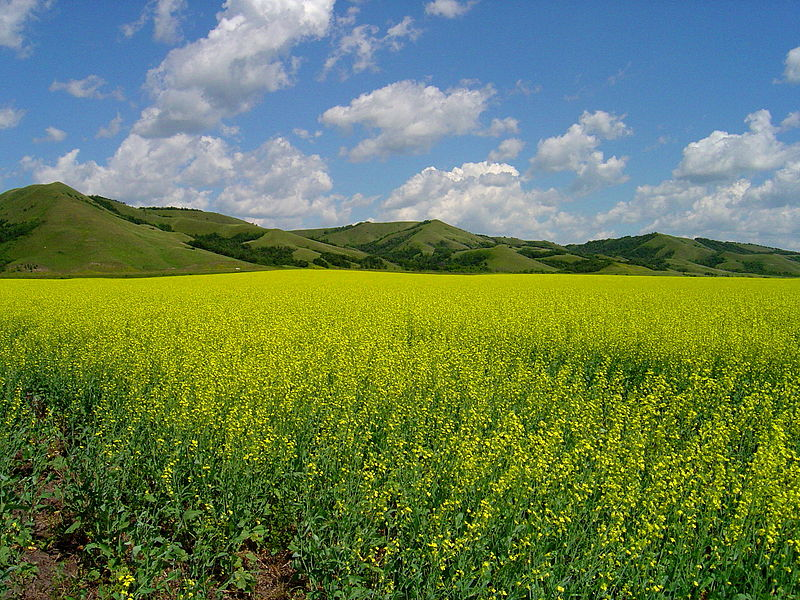 yellow flowers cultivating in the qu'appelle valley, southeast Saskatchewan