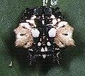 Thelacantha brevispina female 3 - Tanikawa.jpg
